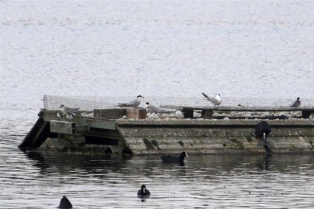 Flußseeschwalben (Sterna hirundo) Echinger Stausee