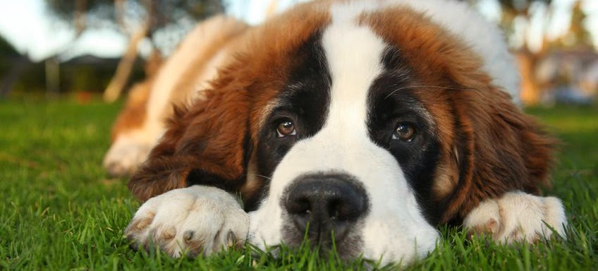 HD Wallpapers : Saint Bernard Wallpapers