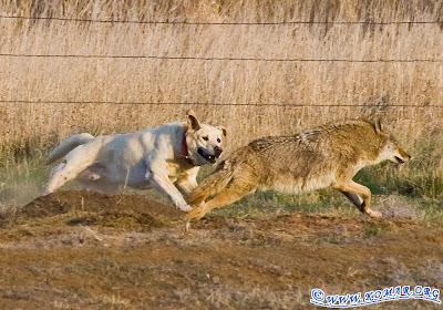 coyote pics