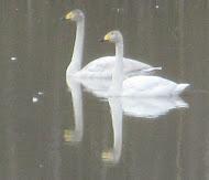 El cisne cantor