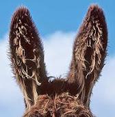Se estàn rifando unas orejas de burro.