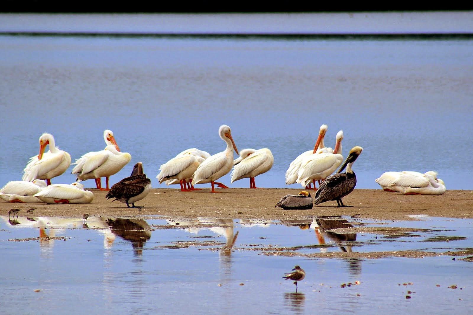 Les pélicans blancs de Sanibel, FL