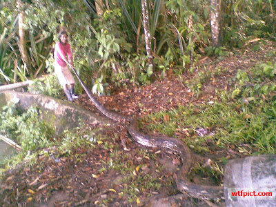 6 meter phyton snake captured by local residents after eat one dog. This female snakes has disturbed around because often eating  local farm animals