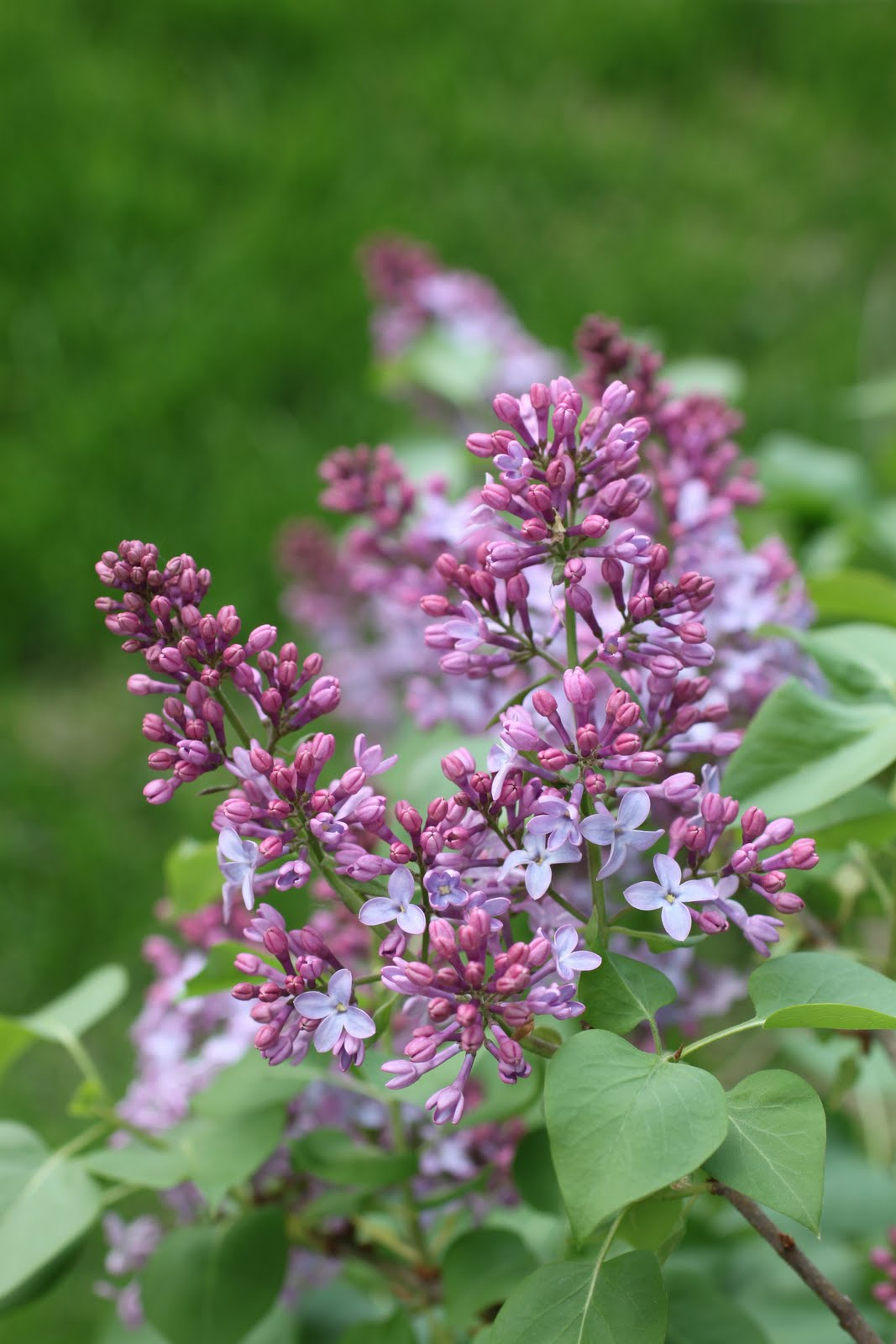 Flower vase pronunciation - It Was Only Later When Lying In Bed Revisiting This Vexatious Subject That I Determined That I Naturally Pronounced Lilac Similarly To The Way