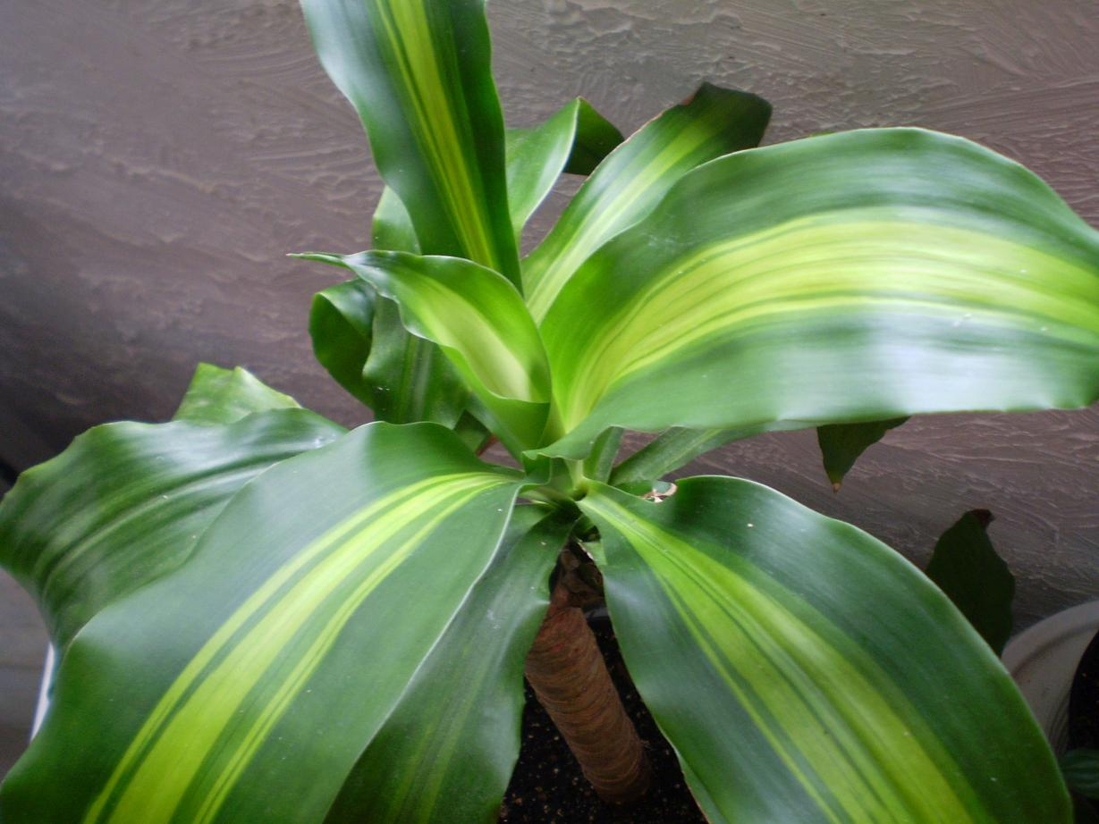But I do know it s happy again because new young leaves are growing Corn Plant Dracaena Leaf
