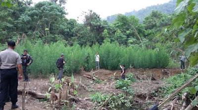 Wow, Polisi Temukan Lima Hektar Ladang Ganja di Muratara