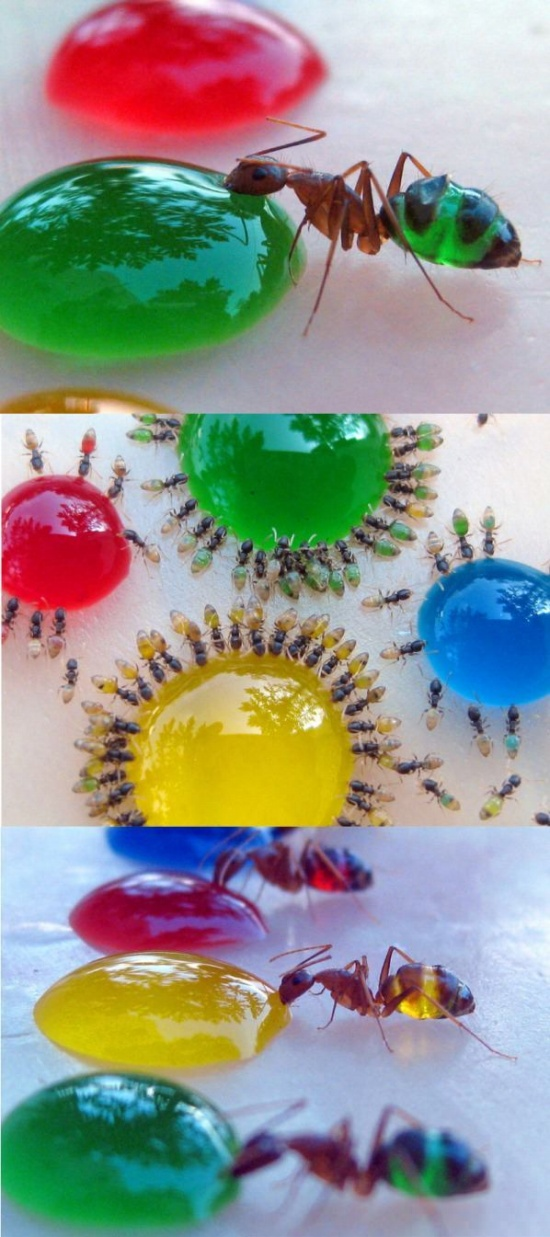 http://3.bp.blogspot.com/-3NXZfoN_En0/UC_lQGOn0PI/AAAAAAAAA-E/RsIEZ0_Kq3E/s1600/Amazing-translucent-ants-eating-colored-liquid-sugar.jpg