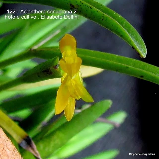 Acianthera sonderiana,leurothallis sonderiana,Humboldtia sonderiana,Specklinia sonderiana.