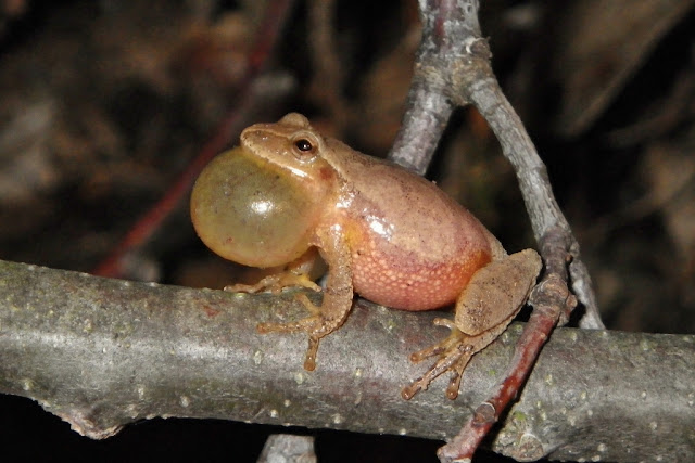 spring peeper sounds off