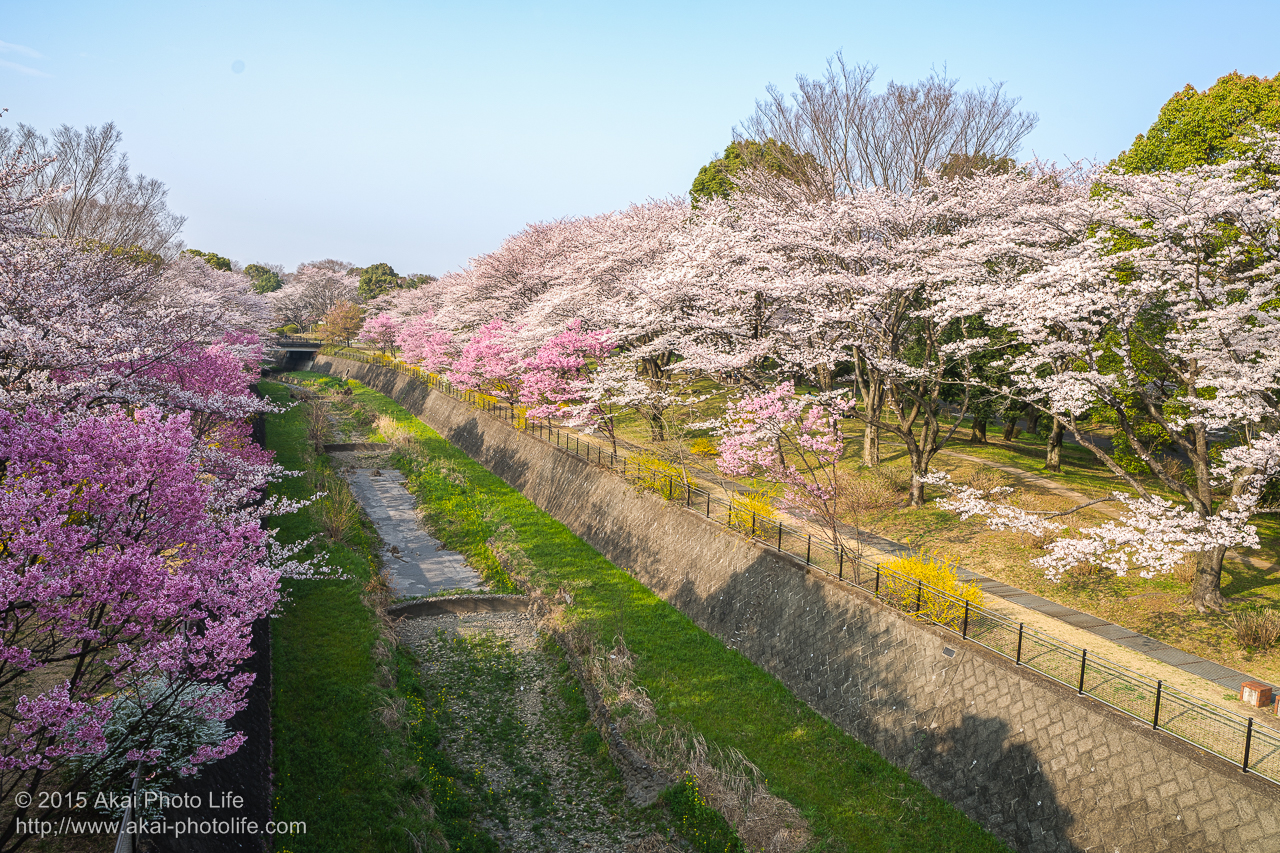 昭和記念公園の桜 その5