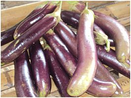 eggplant grown in Philippines