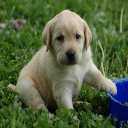 Cómo Educar a Un Cachorro Labrador ¡Ya! | Blog Perro
