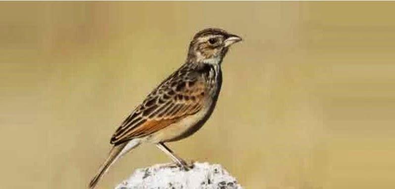 Foto Burung Branjangan Jantan