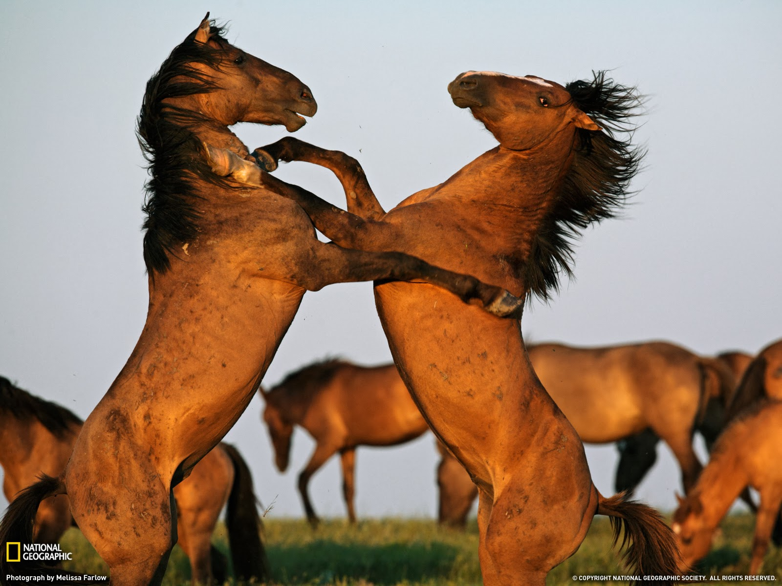 Great   Wallpaper Horse National Geographic - Two+horses+fighting+wallpaper  Gallery_604334.jpg