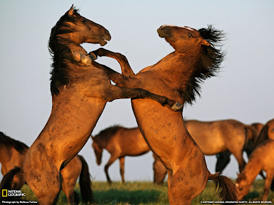 Two horses fighting wallpaper