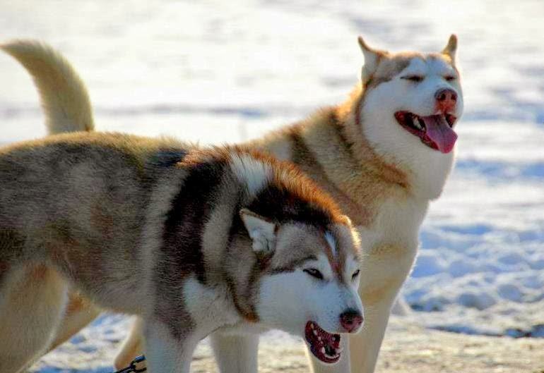 Husky sledding in Latvia