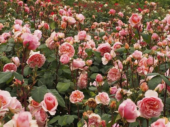 Versigny rose сорт розы фото