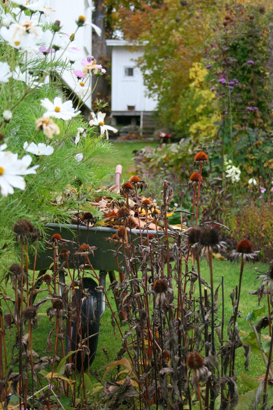 vintertäcka ömtåliga växter