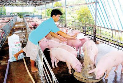 Một trại nuôi heo ở Phước Long, tỉnh Bình Phước. Ảnh: Thái Bằng