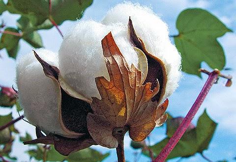 vải cotton 100 có nguồn gốc từ cây bông
