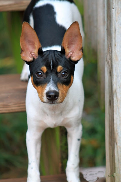Top 5 Most Talkative Dog Breeds