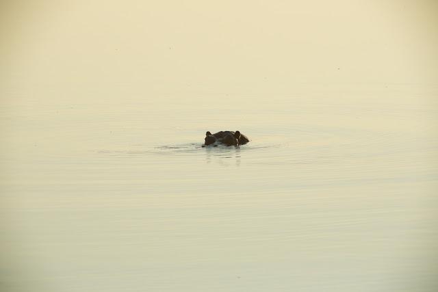 Hippopotamus, Chobe National Park, Botswana - Kim Jay Photography