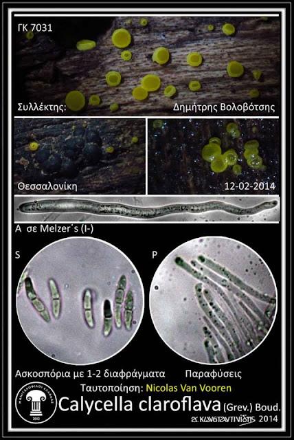 Calycina claroflava (Grev.) Kuntze