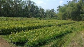 Bibit Durian Musang king Medan 082.137.433.114