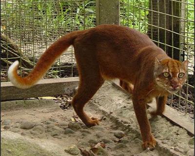 gambar kucing merah langka