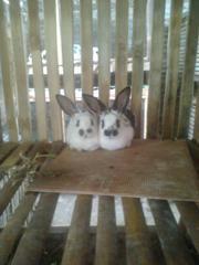 kelinci-4