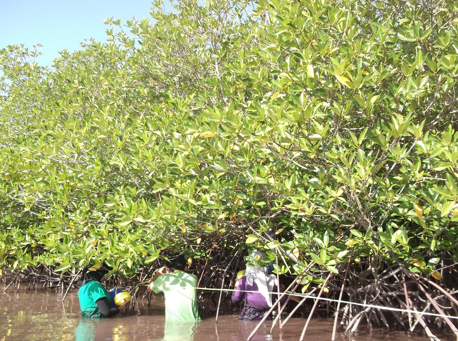Mangrove Research