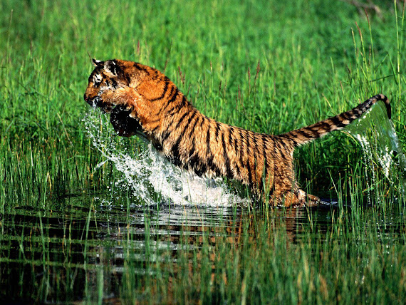 download gambar harimau