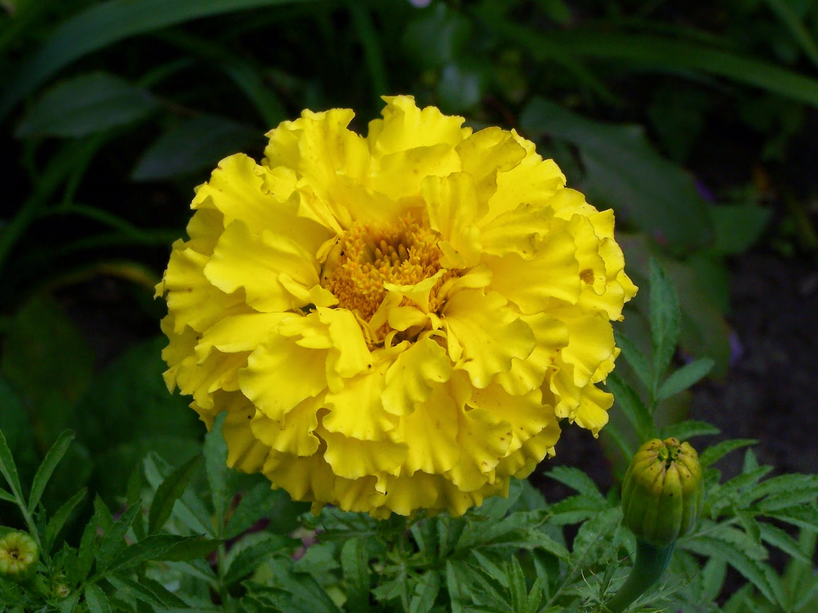 Manfaat dan Khasiat Bunga Marigold atau Calendula (Tagetes Erecta)