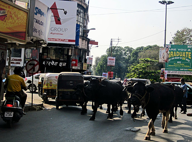 buffaloes on Main Street in Pune