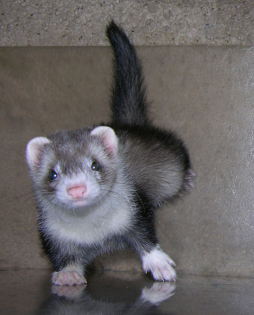 Free Cool Wallpapers Ferret Background