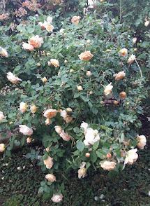 Rose gialle inglesi D. Austin