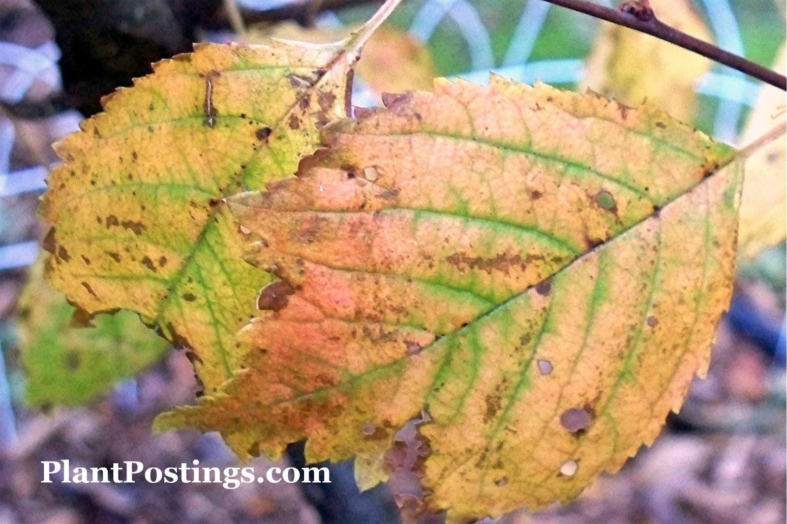 Cosmos bipinnatus Semillas Enano Mix - American Meadows