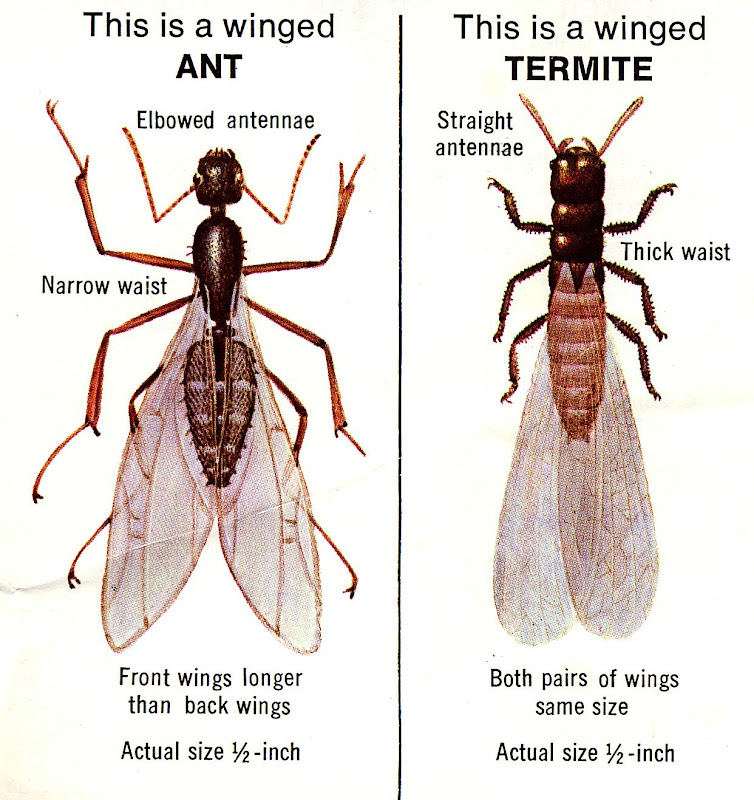 Dealing with Carpenter Ants title=