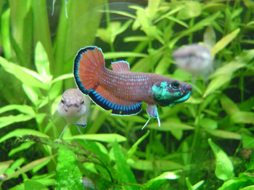 Image gallery mouthbrooding betta for Wild betta fish