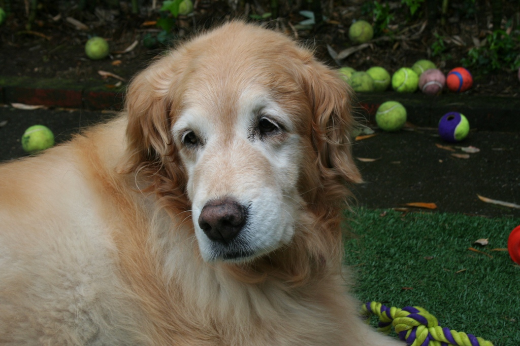 close up of old golden retriever laying on the ground, her muzzle and areas around her eyes are white with age, eyes are sweetly droopy