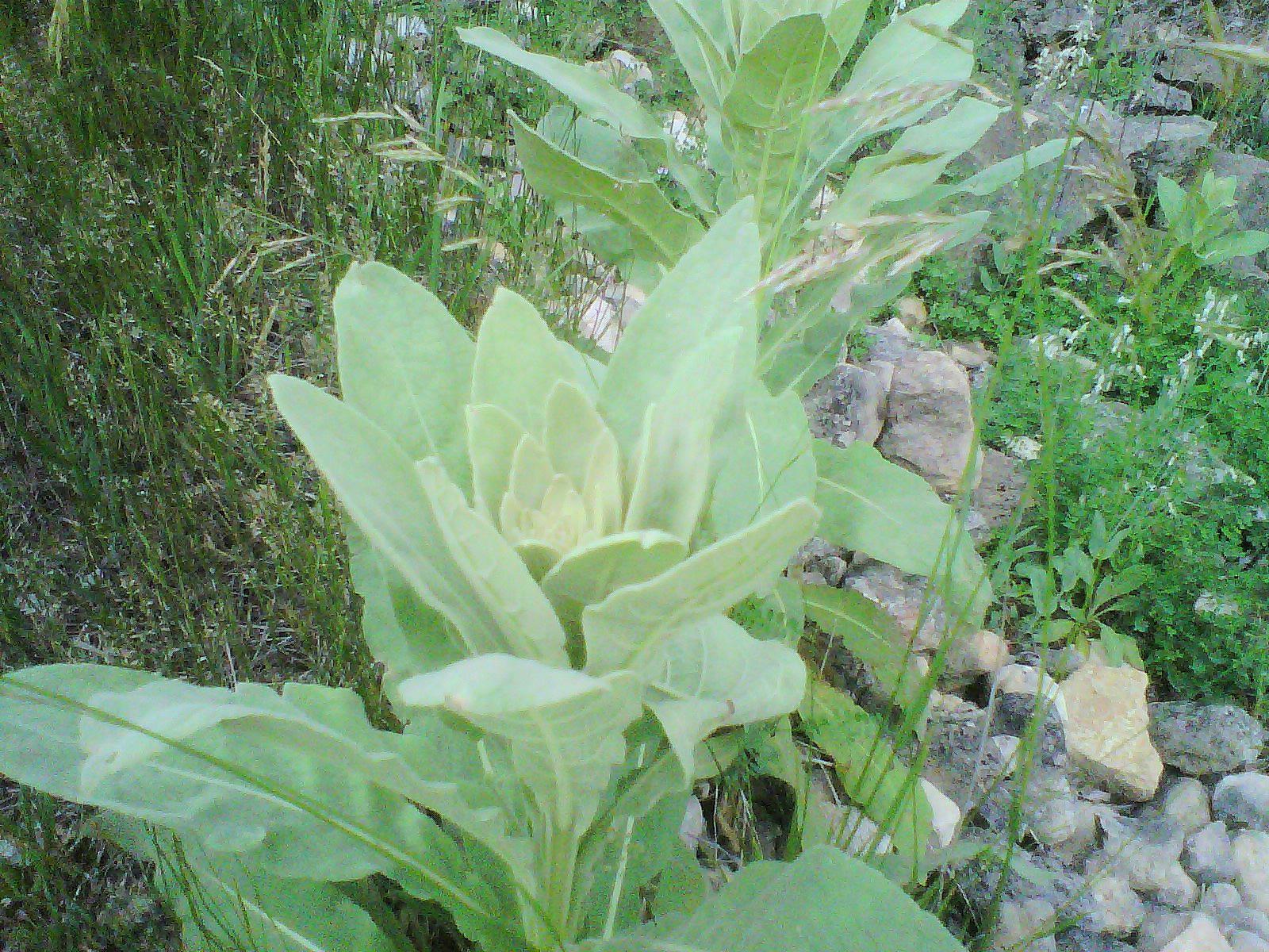 Wild Backyard Herbs : Backyard Patch Herbal Blog Herb of the Week  Wild herbs