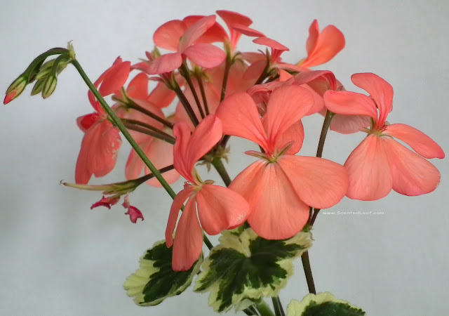 Pelargonium zonale, x Hortorum, Frank Headley blooms with flowers, flower-buds and seedpods