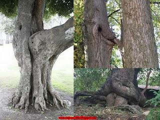 Lude slike, drva, jebacina, stablo