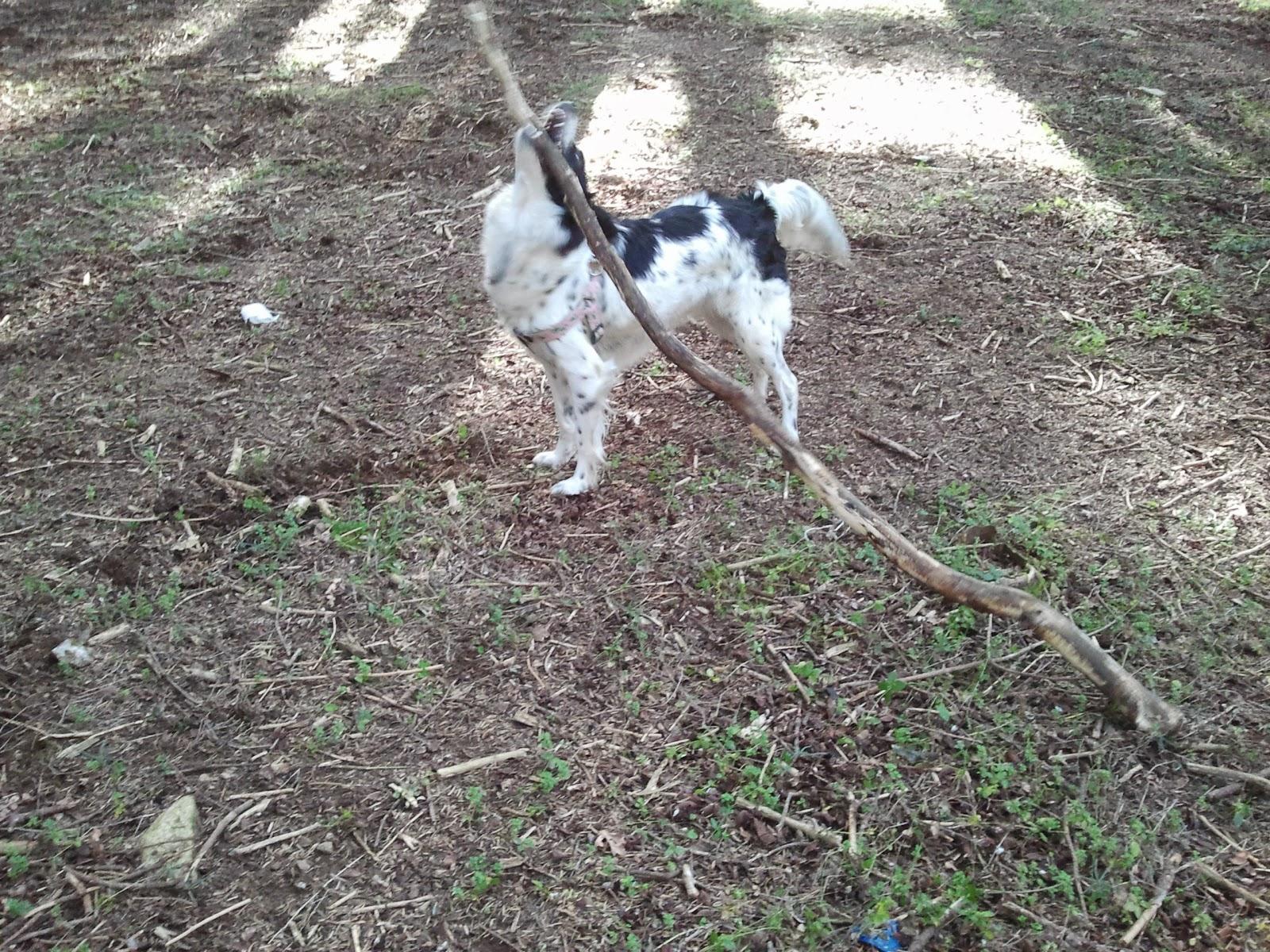Cane-gioca-con-un-legno