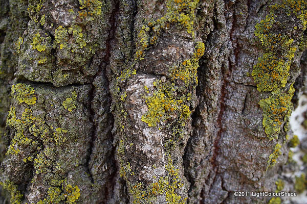 Mulberry tree bark