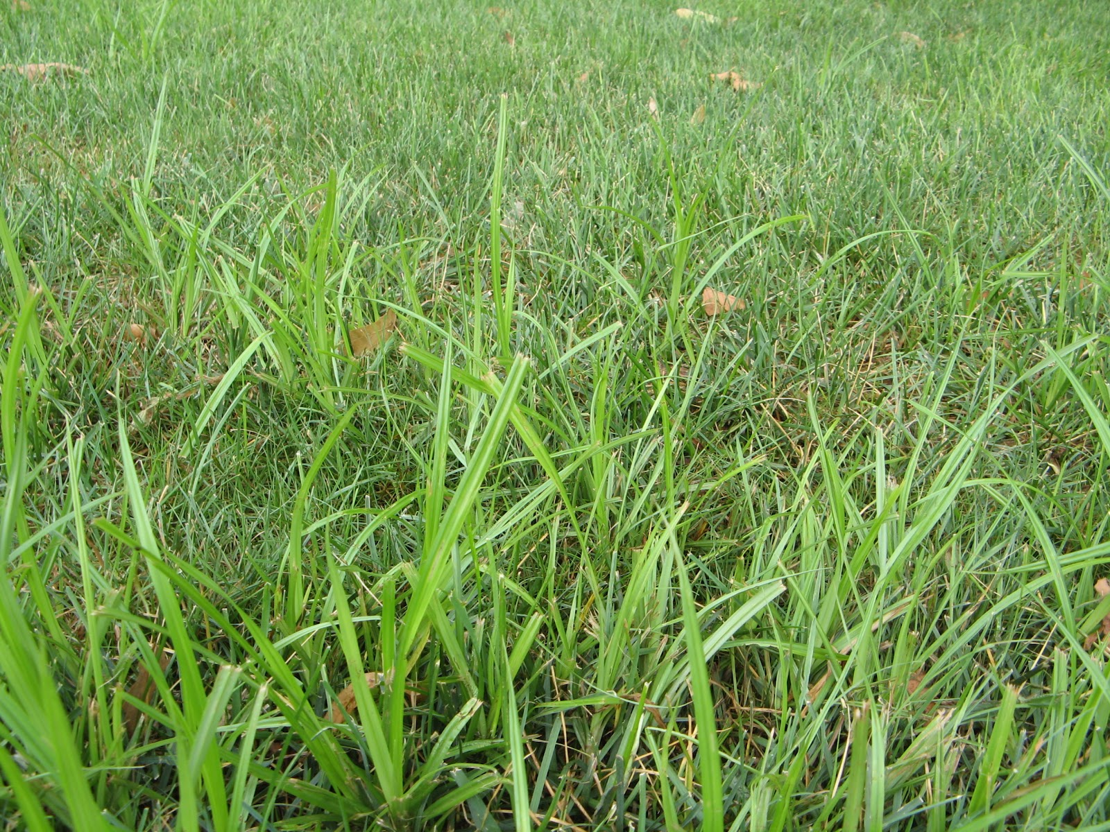 How to get rid of nut grass - Yellow Nutsedge