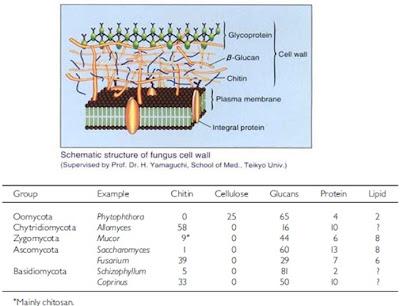 Struktur dinding sel Fungi,dan tabel perbedaan komponen dinding sel pada setiap kelas Fungi.