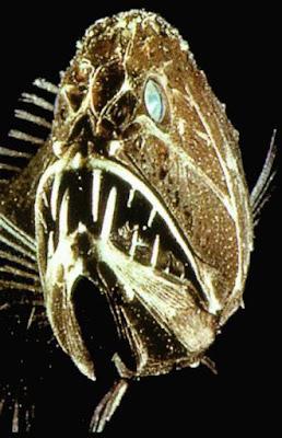 fangtooth 02 ΔΕΙΤΕ: Τα πιο παράξενα πλάσματα που έχουν βρεθεί στην θάλασσα!