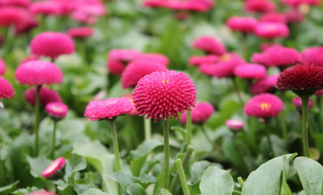 English Daisy Flowers