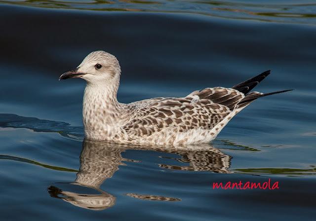 Heuglin's Gull (Larus heuglinii)